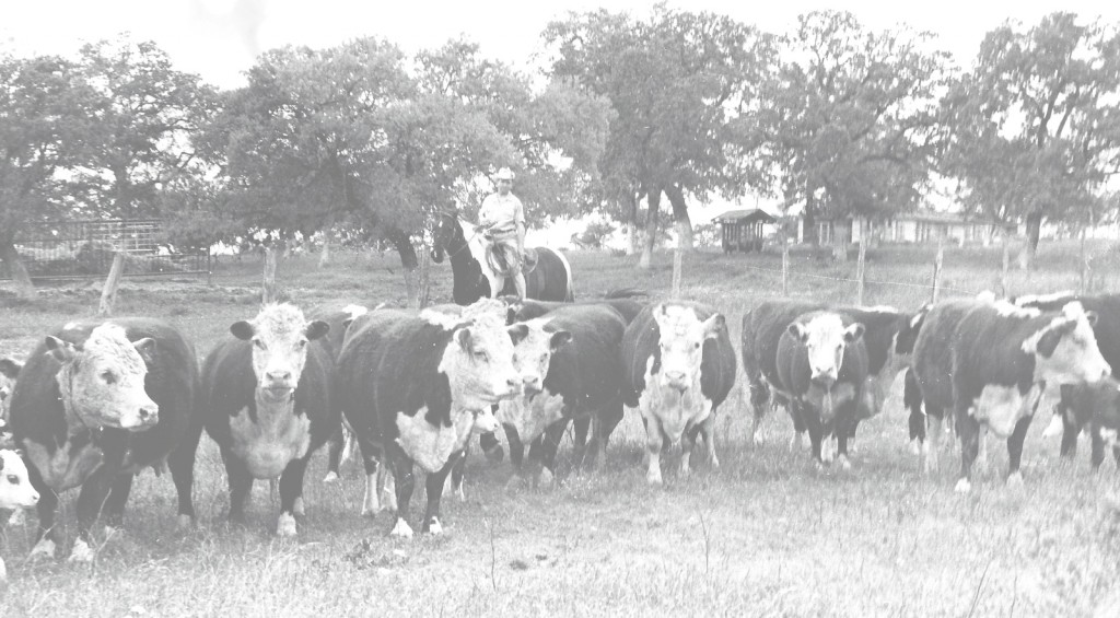 65_1930s_-Perry-Kallison-on-horseback-at-ranch-with--Polled-Hereford-cattle-(foreground)-and-ranch-house-background